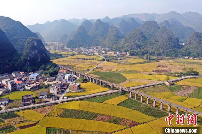 柳江区成团镇数万亩晚稻成熟,宛若金色地毯铺在山间。张子潇摄