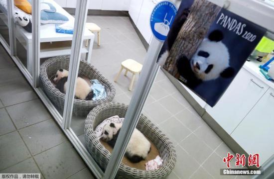 当地时间11月7日,比利时布吕热莱特的天堂动物园里,今年8月份出生的一对双胞胎大熊猫宝宝亮相。