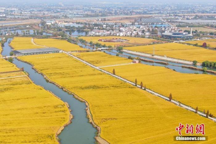 """资料图:航拍正值丰收季的南京郊外水稻田,""""金色大地""""呈现美丽画卷。中新社记者 泱波 摄"""