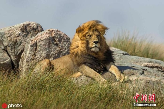 2018年2月2日报道(具体拍摄时间不详),这只狮子大概以为自己是在为时尚杂志《Vogue》拍摄封面吧,你瞧它在风中优雅凹造型,一头长鬃毛迎风飘扬甚是飘逸,表情傲娇颇有大牌范。在一张照片中,这个镜头感十足的狮子还不忘回眸看向摄影师,而在另外一张照片中,它半趴在岩石上,眼神则任意望向远方,一展狮子王的风范。摄影师Alex Kirichko在坦桑尼亚拍到了这组有趣的照片。图片来源:IC photo