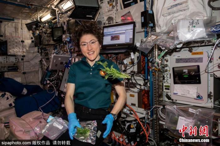 资料图 :美国宇航员克里斯蒂娜·科赫在国际空间站收集并包装收获的芥菜 。图片来源:Sipaphoto版权作品 请勿转载