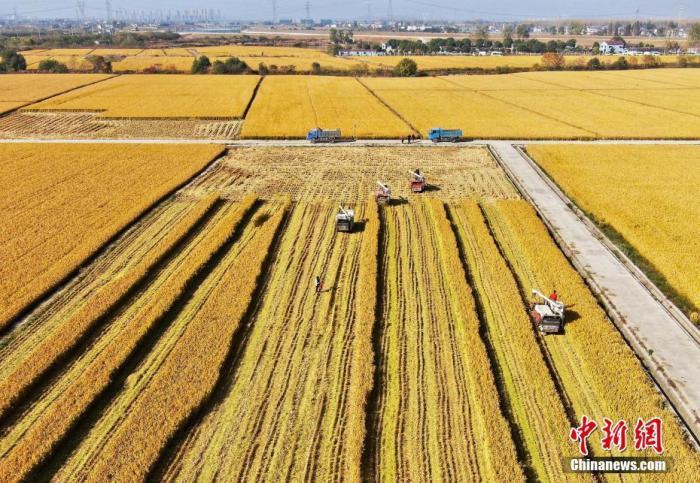 """资料图:2019年11月15日,南京江宁湖熟街道种植7000亩优质稻米的省级现代农业产业园区内,工作人员驾驶着收割车穿梭在金黄的稻田里收割,""""绘就""""一幅美丽的秋收图。记者 泱波 摄"""