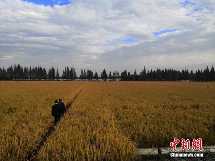 11月16日,安徽农业大学皖中试验站水稻超高产攻关212亩示范方实产验收现场,专家组通过随机抽取三块1亩以上田块实施机械化收割,测定水稻亩均产量为1023.8公斤,其中最高田块产量达到1053.7公斤。之前的数据显示,安徽水稻单产最高记录为1020.5公斤。安徽农业大学 供图