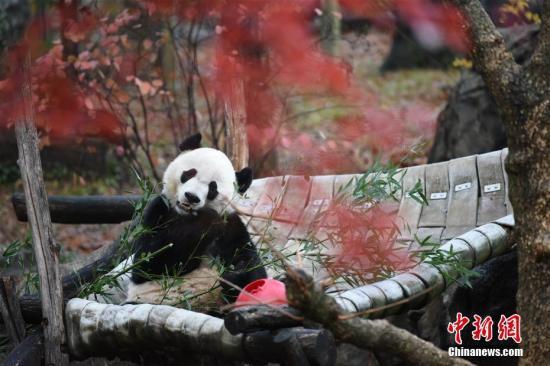 """当地时间11月19日,旅美雄性大熊猫""""贝贝""""从华盛顿启程乘专机直飞中国成都。按照中美有关大熊猫繁育协议,在美国国家动物园出生的大熊猫将在4岁时回中国。2015年出生的""""贝贝"""",今年8月22日满4周岁。中新社记者 陈孟统 摄"""