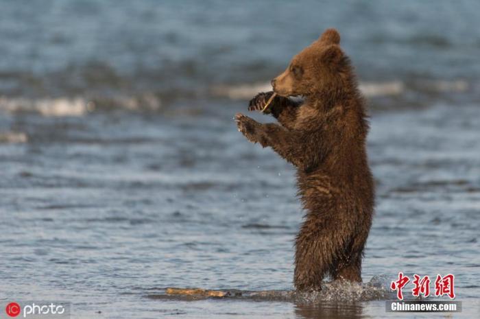 当地时间11月19日报道,50岁的摄影师Liana Varacskaia在俄罗斯南堪察加自然保护区拍摄到了棕熊跳舞的有趣画面,一只6个月大的棕熊宝宝正在热舞,舞姿销魂身躯妖娆,这只棕熊还抓住一根树枝犹如握住麦克风一般,不禁令人捧腹大笑。图片来源:IC photo