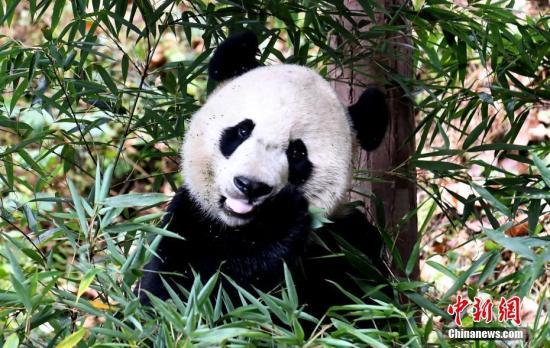 """图为大熊猫""""贝贝""""。中新社记者 安源 摄"""