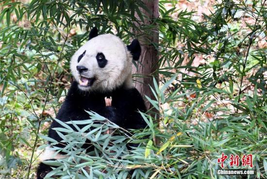 """图为大熊猫""""贝贝""""在享用美食。中新社记者 安源 摄"""