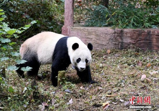 """图为大熊猫""""贝贝""""在户外活动场熟悉新环境。中新社记者 安源 摄"""