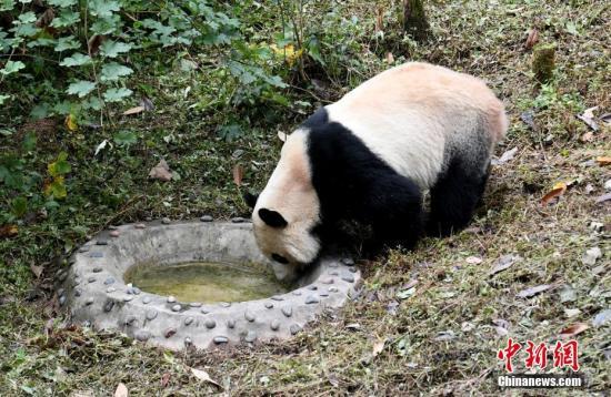 """图为大熊猫""""贝贝""""在喝水。中新社记者 安源 摄"""