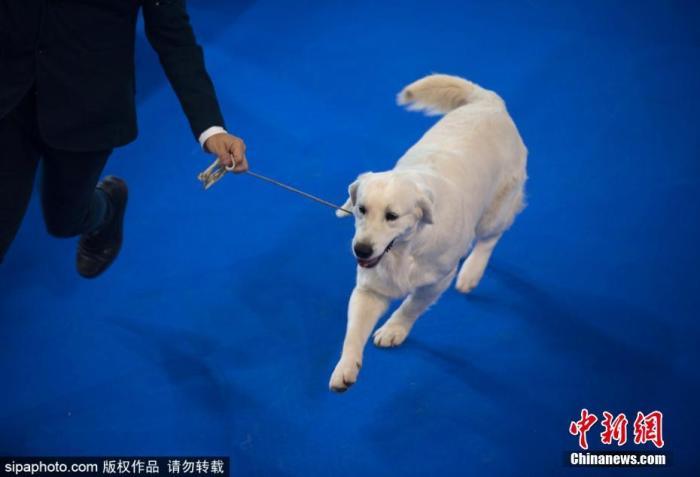 资料图:狗。当地时间11月24日 第三十三届国际狗展(ExPOCAN)在西班牙举办。动物爱好者可以看到不同品种的狗,并参加犬展或美容展览比赛。图片来源:Sipaphoto 版权作品 禁止转载