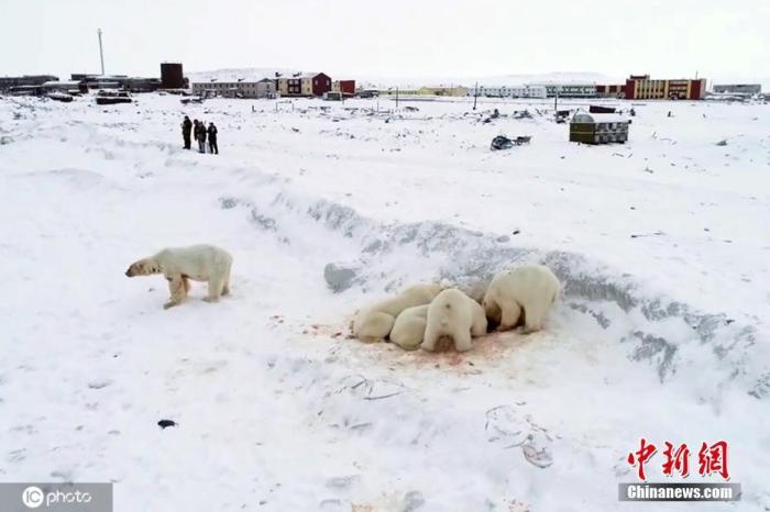 12月9日,全球气候暖化对生态影响加剧,俄罗斯北部楚科奇自治区雷尔凯皮村附近出现60多只北极熊。由于全球变暖导致海面冰层变薄,北极熊不得不闯入人类村落觅食。这些北极熊聚集在雷尔凯皮村附近一平方公里的区域,有成年熊和幼熊,因食物不足都相当消瘦。当地村民不足1000人,由于担心北极熊闯入村庄,村内所有公众活动已经终止,还安排了巡逻人员监控北极熊的动向。图片来源:ICphoto
