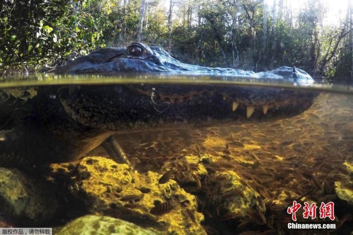 资料图:2019年10月30日,在佛罗里达州的国家保护区,一只短吻鳄在水中觅食。