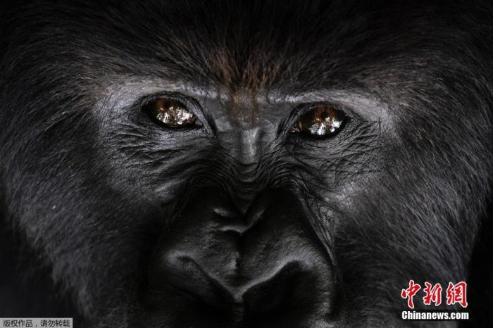 2019年9月2日,卢旺达火山国家公园,一只名为Segasira的银背大猩猩躺在一棵树下,抬头看天。
