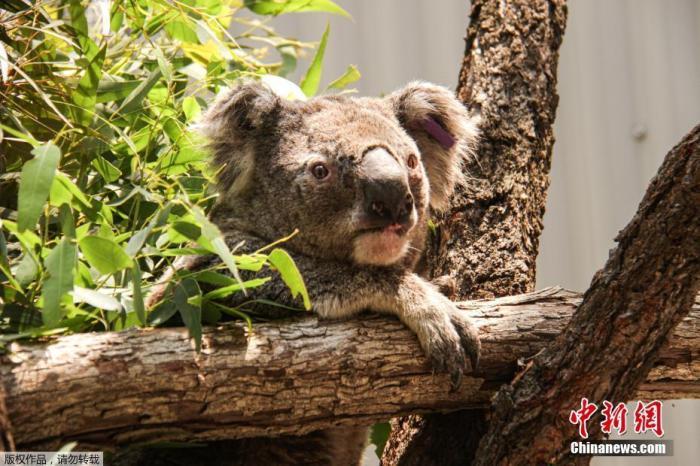 """目前,这群获救的考拉已被转移到悉尼塔龙加动物园的""""紧急避难所""""。野生动物科学主任凯利·拉奥说,他们将有两天的时间来救助更多考拉,""""这些考拉很难找到和捕捉,我们希望能挽救更多,但我们很高兴我们可以拯救这群考拉。很多好人在很短的时间内就提供了帮助。""""拉奥表示,""""考拉是一种濒危物种,在澳大利亚的大部分地区都很容易灭绝。考拉曾经是一个繁荣的300万到400万的种群,现在只有30万只。拯救每一只考拉对这个物种的生存至关重要。"""""""