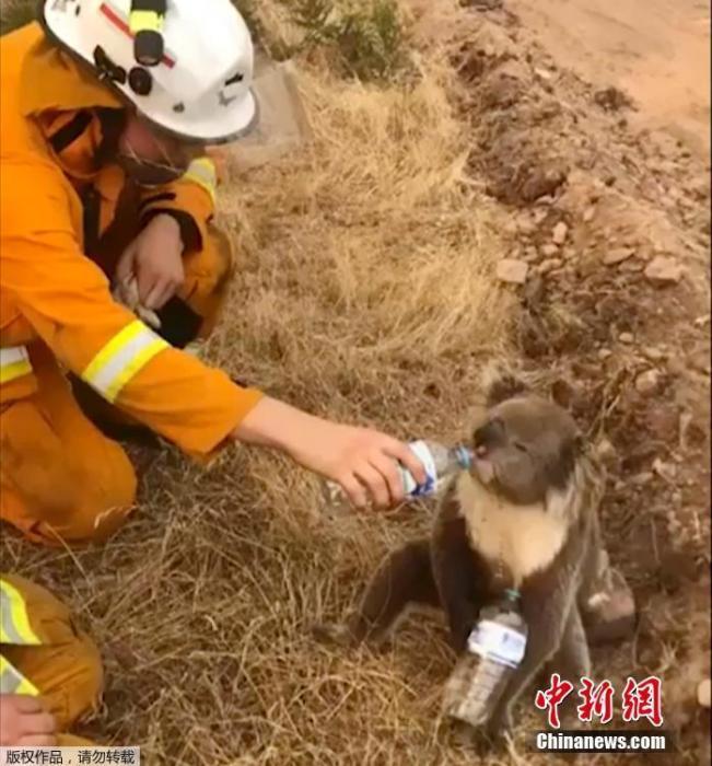 8000只考拉或命丧澳森林大火 环保主义者吁列濒危物种