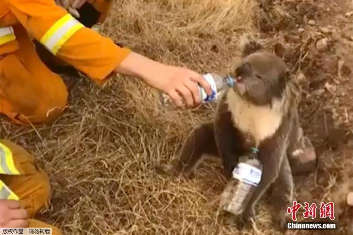当地时间12月22日,澳洲一位消防员被拍到正在给干渴的考拉喂水喝。据了解,目前肆虐澳大利亚的山火已经持续3个多月,造成至少9人死亡,超过800座房屋被损毁,300多万公顷土地被烧焦。多地出现超40度的高温酷暑天气,许多考拉耐不住干渴,消防员救火时会遇上考拉求助。