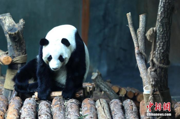 12月26日,西宁熊猫馆内大熊猫攀爬玩耍。中新社记者 罗云鹏 摄