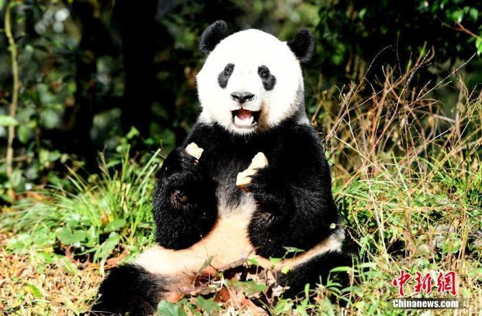 """大熊猫""""贝贝""""在新家。安源 摄"""