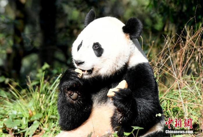 """大熊猫""""贝贝""""在享用窝窝头。安源 摄"""