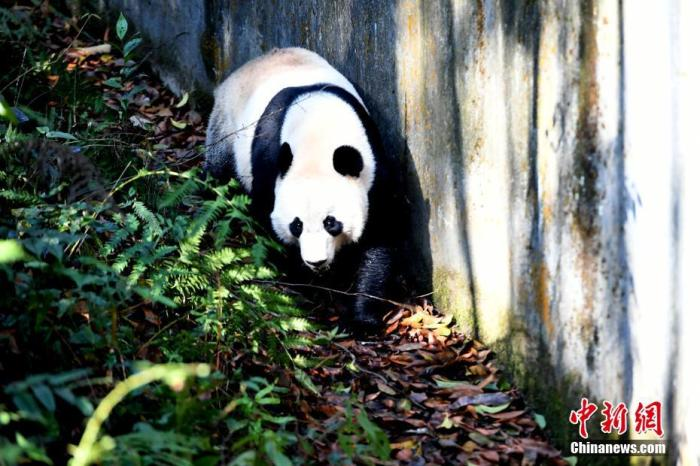 """大熊猫""""贝贝""""在熟悉新家户外活动场的环境。安源 摄"""
