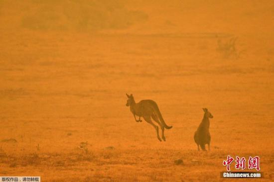 当地时间1月4日,澳大利亚Cooma,两只袋鼠在浓烟弥漫的野外上跳跃。据报道,澳大利亚多地气温展看飙破40摄氏度,添上强风风向转折彩神彩票,将繁殖和扩散火焰彩神彩票,恐让野火失踪控制。据报道彩神彩票,悉尼大弟子态学家估算,大约有5亿只鸟类、哺乳动物和爬走动物在澳大利亚的森林火灾中物化。他们不安这会造成物栽灭绝。现在,受灾动物数目还在不息添长。