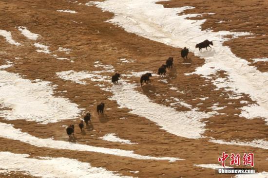 资料图:青海的野生动物成群结队出现。(鲁丹阳)