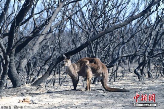 悉尼大学生态学家估算,在火灾最严重的新南威尔士州,大约有5亿只鸟类、哺乳动物和爬行动物丧生。而在这数量庞大的动物中,大约有8000只考拉,据信在昆士兰州和新南威尔士州被烧死。图为当地时间1月7日,澳大利亚阿德莱德西南部袋鼠岛受森林大火袭击,一只袋鼠站在化为焦炭的森林前。