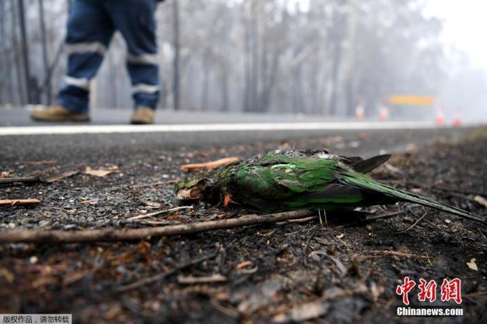 图为伊登小镇的道路旁,一只躺在灰烬中的澳大利亚本土鸟类。