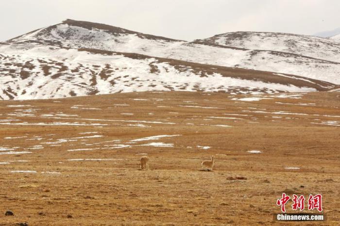 1月3日至8日,青海省海西州格尔木市森林公安局的民警们深入昆仑山腹地开展巡山巡护和清夹清套工作,记者有幸跟随采访。在第一天巡山的两个小时内,记者肉眼所见的藏野驴、野牦牛、盘羊、岩羊等国家级野生保护动物就达到了约250只,野生动物大都成群结队出现。(鲁丹阳)