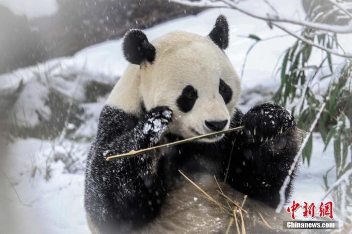 """1月7日,2020年的初雪,终于在济南市民的期待中如约而至。一场酣畅淋漓的大雪,不仅兴奋了泉城市民,也兴奋了济南野生动物世界的3000余只小动物们。国宝熊猫""""二喜""""和""""娅双""""在雪中实力卖萌,攀爬行走无所不能,玩耍的""""自拍""""照,憨态可掬,生机勃勃,玩的不亦乐乎,就是这样惹人爱!宫玥雯/摄 孙婷婷/文"""