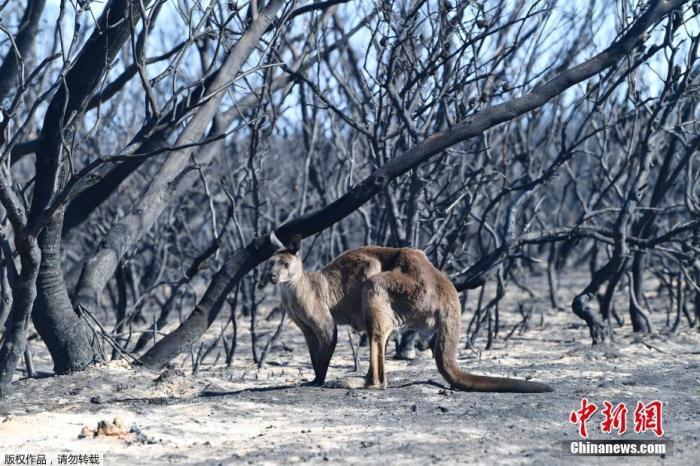 澳大利亚阿德莱德西南部袋鼠岛受森林大火袭击,一只袋鼠站在化为焦炭的森林前。