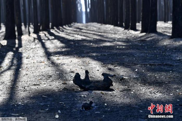 澳大利亚阿德莱德西南部的袋鼠岛上,山林野火横扫当地森林后,一具考拉的尸体半曲着身体,躺在满是灰烬的土地上。