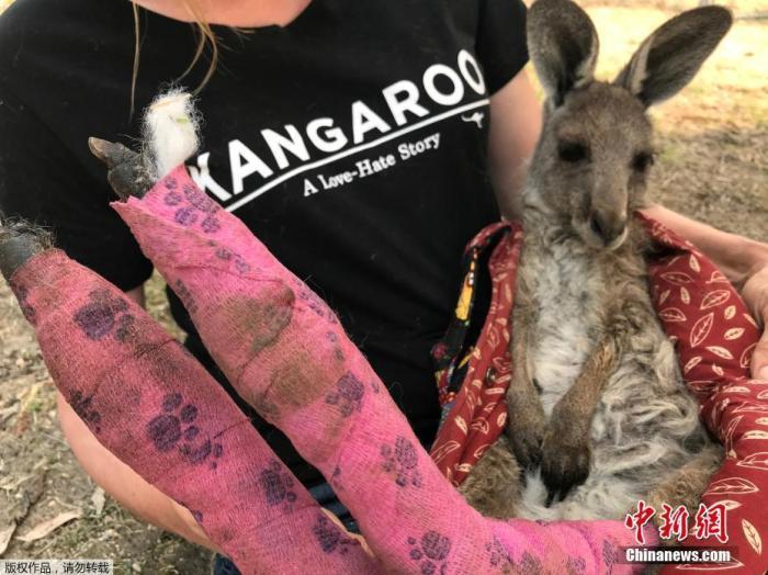 澳大利亚蓝山地区,志愿者从山火中抢救出来的一只双脚烫伤的袋鼠。