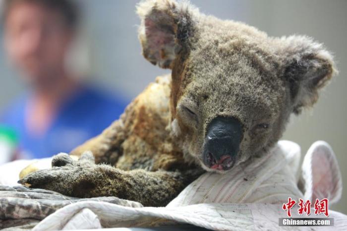 """世界上唯一的考拉医院――澳大利亚麦考瑞港(Port Macquarie)考拉医院里,在山火中横遭""""涂炭""""的考拉在等待救治。中新社记者 陶社兰 摄"""