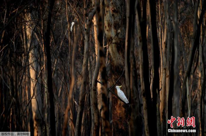 当地时间1月11日,在澳大利亚新南威尔士州普罗维登斯门的科斯库兹科国家公园,一只硫冠凤头鹦鹉坐在燃烧的树木中间。