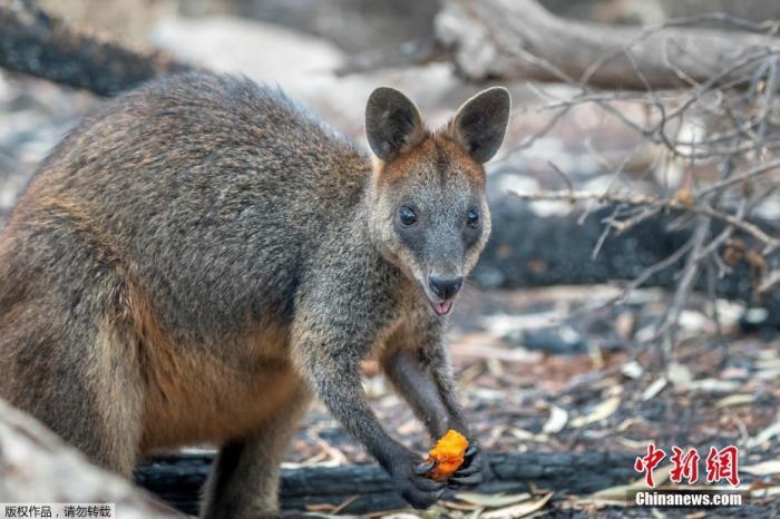新南威尔士州政府动用飞机,向岩沙袋鼠出没的地方,空投4000多磅食物,其中大部分是胡萝卜和红薯。