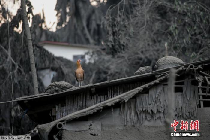 当地时间1月13日,菲律宾八打雁省,居住在爆发的塔尔火山附近的民众正紧急撤离。据报道,菲律宾旅游胜地塔尔火山(Taal)突然喷发火山灰和蒸汽,之后开始涌出熔岩。据悉,当局已疏散附近8000居民。目前,当地政府机关和各级学校已停班停课,当地马尼拉国际机场部分关闭,数百航班停飞,估计恐有45万人需要撤离。图为塔尔火山附近的村庄被盖满火山灰。