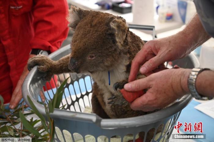图为当地时间1月14日,一只受伤的考拉在接受烧伤治疗后兽医正在帮它检查。