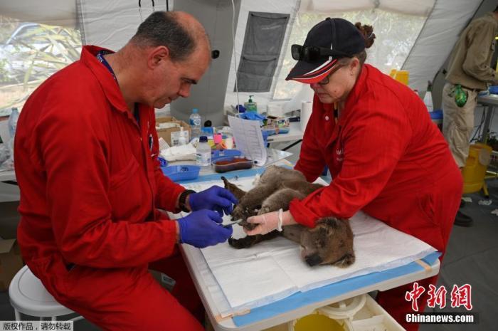 图为当地时间1月14日,一只受伤的考拉正在接受烧伤治疗。