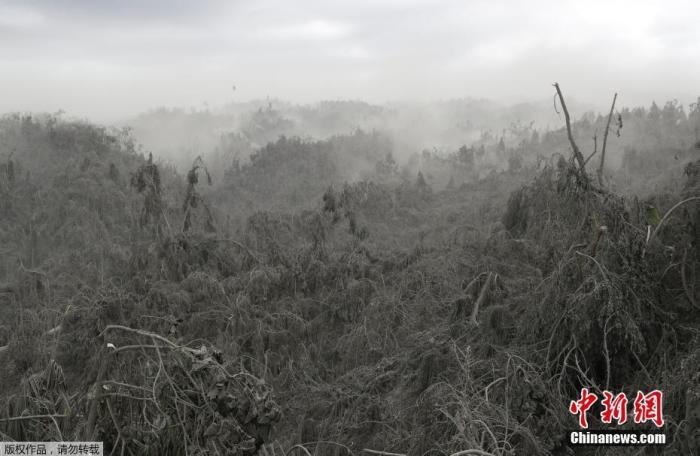 据报道,菲律宾火山与地震研究所(Phivolcs)表示,塔阿尔火山12日喷发后持续濒临爆发状态,这代表岩浆仍可能涌到火山口。图为菲律宾南部八打雁省火山灰覆盖的丛林。