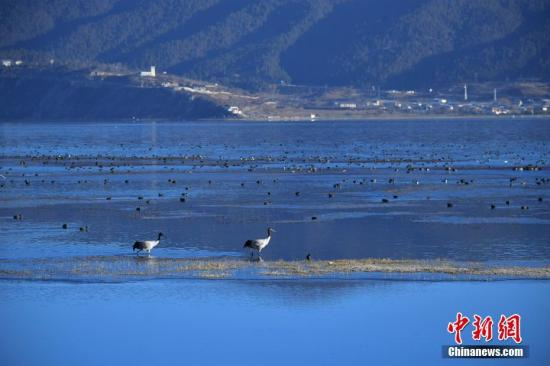 资料图:云南省迪庆藏族自治州香格里拉市纳帕海湿地栖息的候鸟。中新社记者 刘冉阳 摄