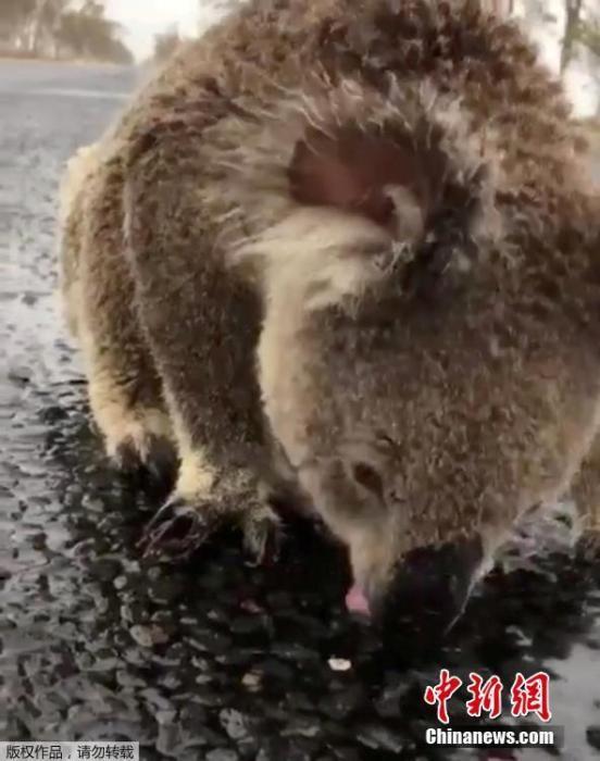 1月19日消息,澳大利亚部分地区16日开始迎来降雨,令长久以来的旱情和火情得到暂时缓解。在新南威尔斯莫里镇的一条马路上,一只考拉不断舔舐马路上的雨水解渴。