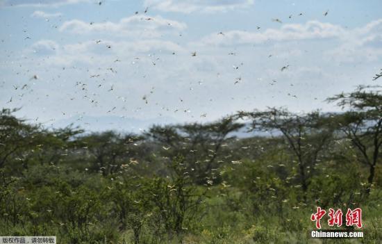 图为当地时间2020年1月21日,在肯尼亚Archers Post附近的拉里索罗村,蝗虫飞过灌木丛。