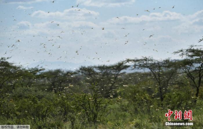 资料图为当地时间2020年1月21日,在肯尼亚Archers Post附近的拉里索罗村,蝗虫飞过灌木丛。