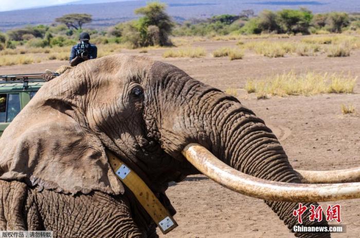 """2月6日消息,据肯尼亚野生动物保护局(KWS)发布消息,著名的50岁大象""""蒂姆""""(Tim)在该国东南部死亡。""""蒂姆""""因自然原因而死亡,它的每个象牙重45.5千克。图为2016年拍摄的""""蒂姆""""资料图。"""