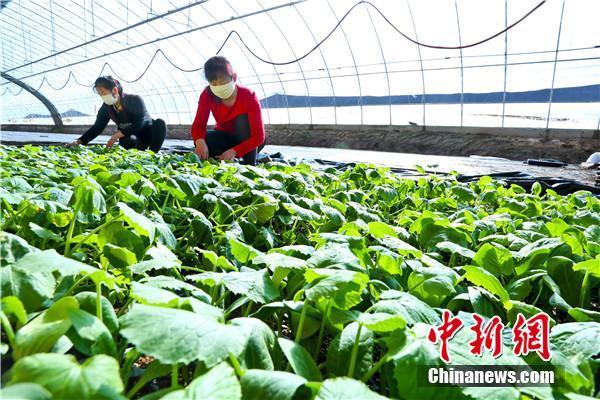 资料图:甘肃1万箱蔬菜援疫区,村民接力采摘包装。 王将 摄