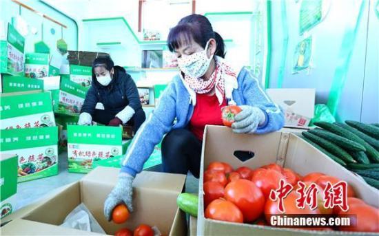 图为将新鲜采摘的西红柿进行包装。 王将 摄