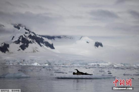 2月13日消息,近日一队科学家乘船进入南极洲收集遗落在此处的人类产生的垃圾,并拍摄了一组南极美颜照,图为一只海豹漂浮在南极洲福尼尔湾附近的冰面上。