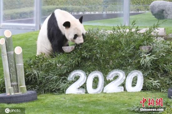 """资料图:日本和歌山县""""冒险世界""""野生动物园,旅日大熊猫""""永明""""。"""