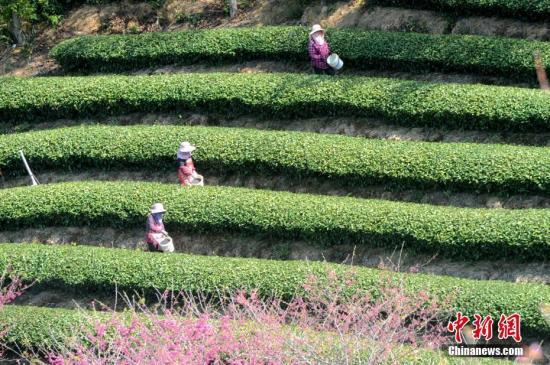 """2月18日,福建省漳平市台品樱花茶园内,工人正忙着施肥。连日来,被誉为""""大陆的阿里山""""的漳平台湾农民创业园里的台企陆续复工复产。该创业园是台胞个体在大陆投资最密集的区域、大陆最大的台湾软枝乌龙茶生产基地。中新社记者 张金川 摄"""